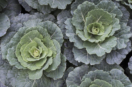 flowering kale: Ornamental or decorative cabbage and kale plants, bright for cold winter days Stock Photo