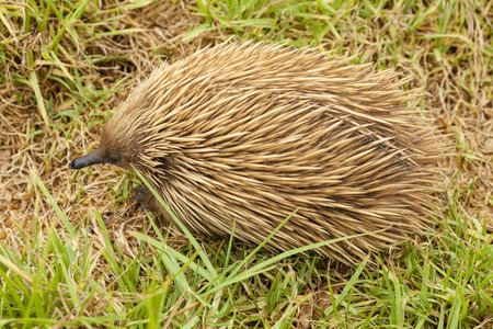 echidna: Echidna looking for ants and termites in the bush