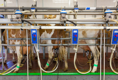 Cow milking facility in a modern farm