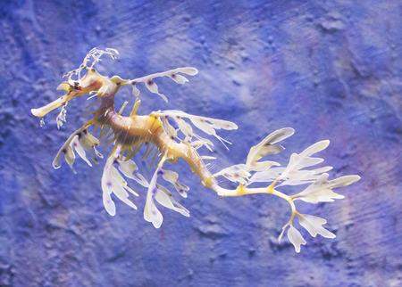 Close-up view of a Leafy Sea Dragon photo