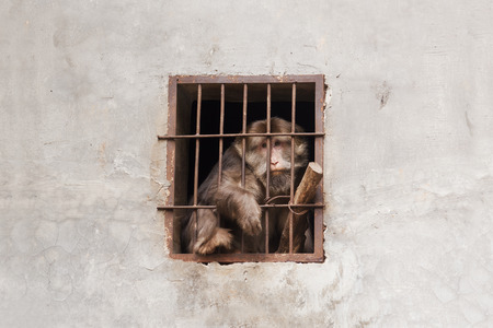 despairing: Despairing monkey being trapped in a cage