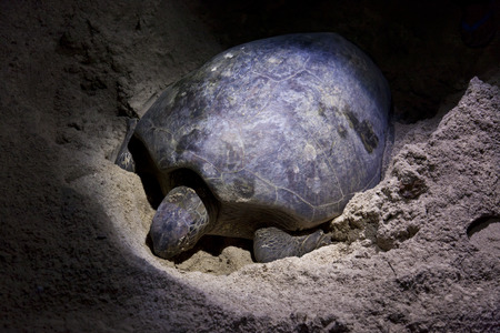 laying: Green turtle laying eggs on beach in Malaysia at night