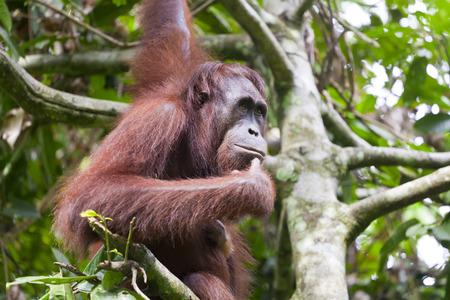 orangutan: Orangutan thinking on a tree in Malaysia Stock Photo