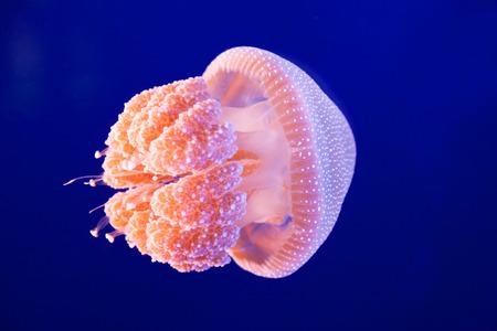 A pink jellyfish swimming in an aquarium