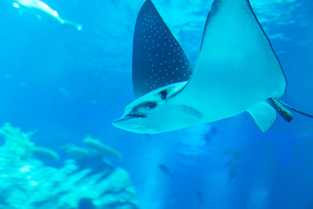 Close-up view of ray swimming in an aquarium photo