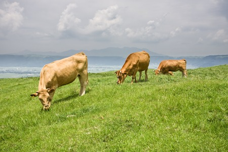 Wagyu, shorthorn cattle in Japan, an internationally recognized brand of beef, feeding grass Zdjęcie Seryjne