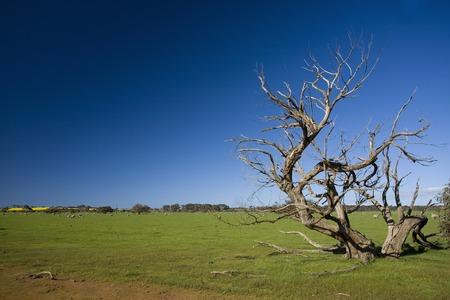 dead wood: Grass field with bizarre dead tree in Kangaroo Island, Australia