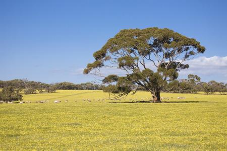 kangaroo island: Sheeps on meadow in Kangaroo Island, Australia