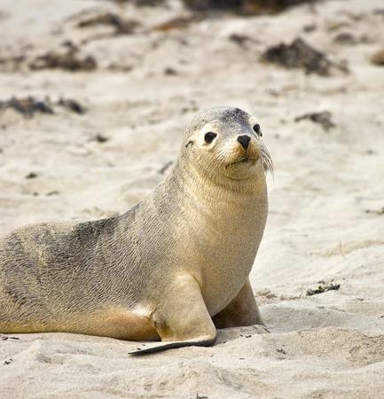 kangaroo island: Sea lion resting at Seal bay of Kangaroo Island, Australia