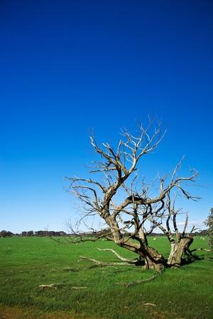 kangaroo island: Grass field with bizarre dead tree in Kangaroo Island, Australia