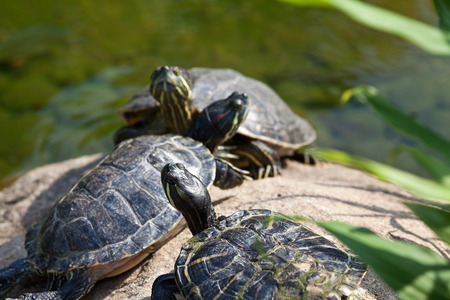 aquatic reptile: Group of red eared slider turtles resting in a pond Stock Photo
