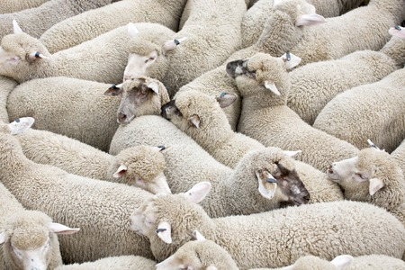 sheep wool: Herd of sheep on a truck Stock Photo