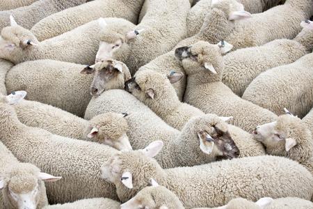 Herd of sheep on a truck Standard-Bild