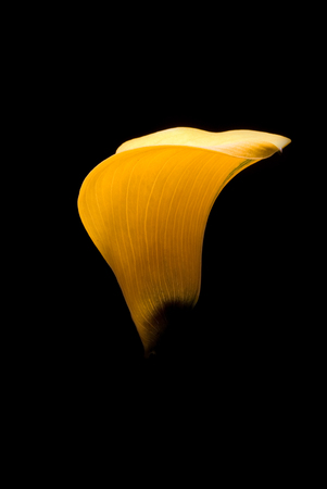 yellow blossom: Studio shot of a yellow flower against dark background