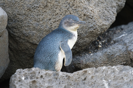 Little penguin returning from sea to the nesting area in the evening, shot in low light