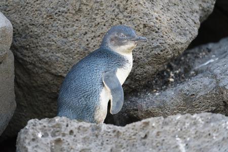 Petit pingouin retour de la mer à l'aire de nidification dans la soirée, le tir en basse lumière