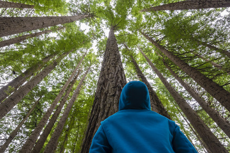 Man looking up in a redwood forest 版權商用圖片 - 50083981