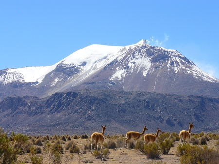 Volcano and Vicunas on Andes Altiplano photo