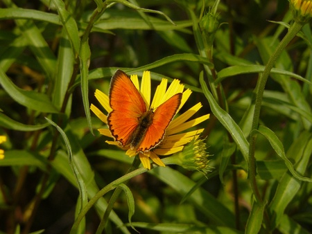 lycaena: Large copper butterfly Lycaena dispar and yellow flower, Vercors mountain massif, France Stock Photo
