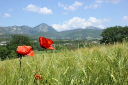 Beautiful view of typical landscape of south of France, fileds and flowers  poppy, broom, orchid photo