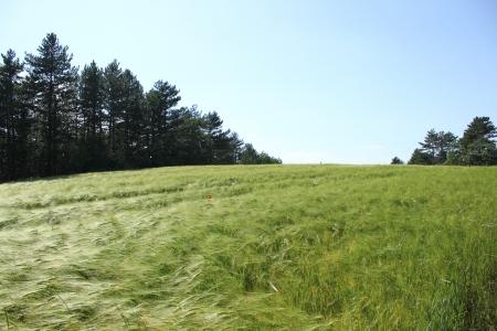 Beautiful field of wheat in France near Saou, Drome photo