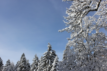 massif: Beautiful winter scene in Chartreuse Massif, France, near cross country skiing center of Le Sappey en Chartreuse, snow over fir tree, blue sky.