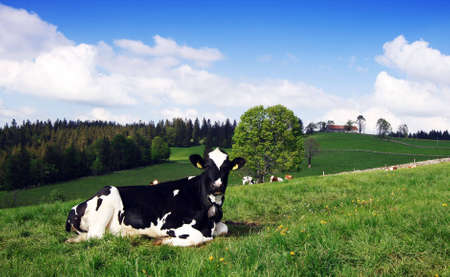 A spotted Cow grazing in the green field under blue sky photo