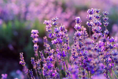 Purple lavender flowers. Sunset over a summer lavender field . Bunch of scented flowers in the lavanda fields.