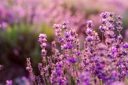 Fleurs de lavande pourpres . coucher de soleil sur un champ de lavande d & # 39 ; été . bouquet de fleurs parfumées dans les champs de lavande Banque d'images - 91512724