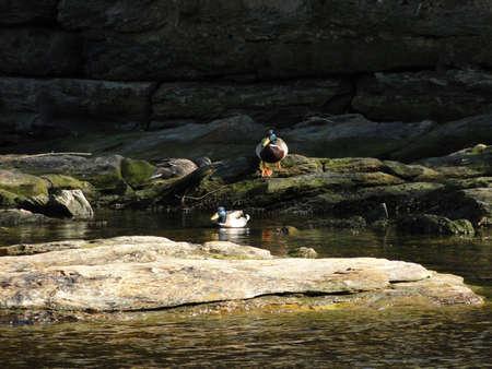 hardanger: Duck under bridge