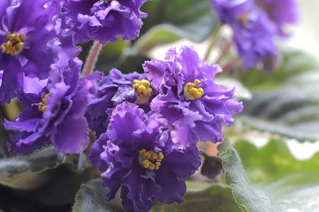 violets: Violet Violacee flower. African Violets Stock Photo
