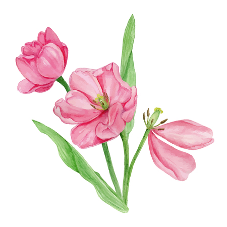 aquarell: Watercolor pink tulip flower blossom with green leaves