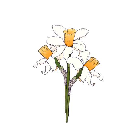 to bloom: Narcissus flower illustration. Hand drawn flower bloom