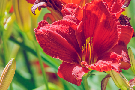 Red lily, garden, Latvia, 2010. Its a travel photo, When I go around city.