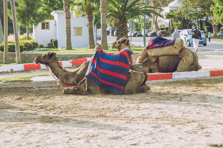Camel view, Tanger, Marocco, Africa, 2013, Nature, aimals and beautiful view. Its a travel photo, when I walk around. Editorial