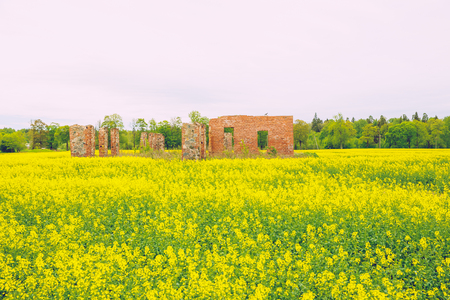 Yellow rape maedow with ruins and trees at Latvia. 2017
