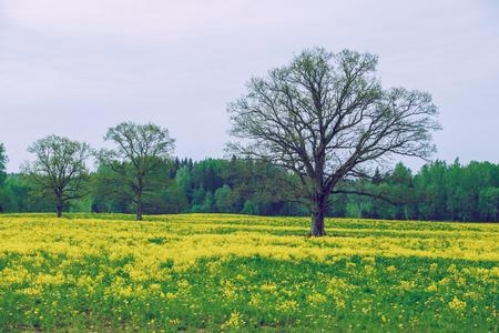 Oak with yellow rape in meadow. 2016 Stock Photo