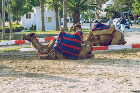Morocco, Tanger, Camels and street. 2013