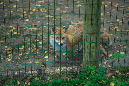Orange fox at wood in Latvia. Standing and watching.