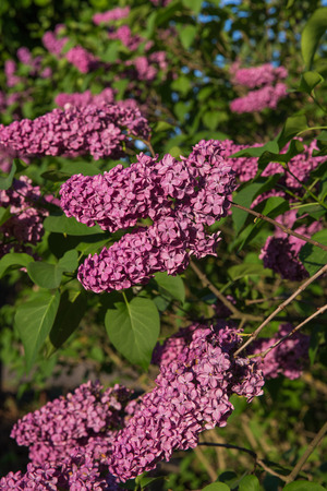 Latvia, green garden and lilacs. Sunny summer day and beautiful flowers. Travel photo 2018. Standard-Bild