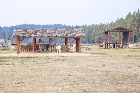City Cesis, Latvia. Lama in Raksi farm. Gray-haired, big ears. Travel photo 2019.07.04.