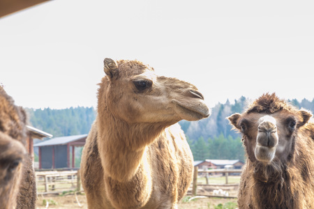 City Cesis, Latvia. Camel farm in Raksi zoo. Big cammels in spring. Travel photo 2019.07.04. Foto de archivo