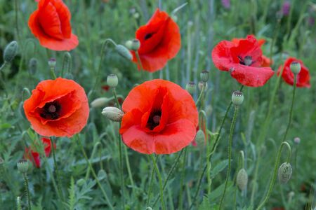 City Cesis, Latvian republic. Red poppy field and green nature. Travel photo 14. Jun. 2019 Banco de Imagens