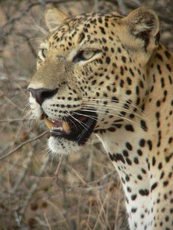 africat: Leopard 9, Wilpattu, Sri Lanka