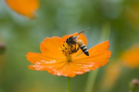 Bee in the flower   photo
