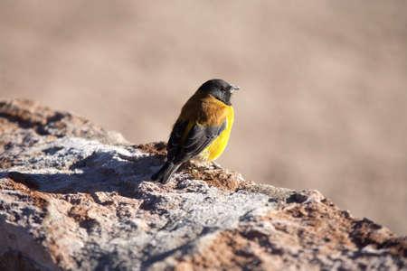 cordillera: bird on cordillere des andes