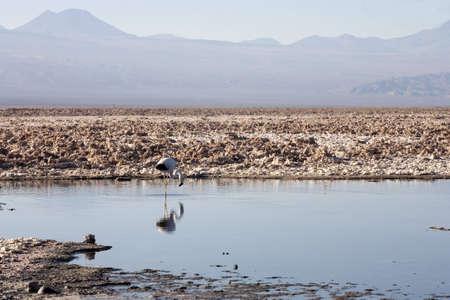 cordillera: La Laguna de Chaxa in Atacama desert near andes, Chile