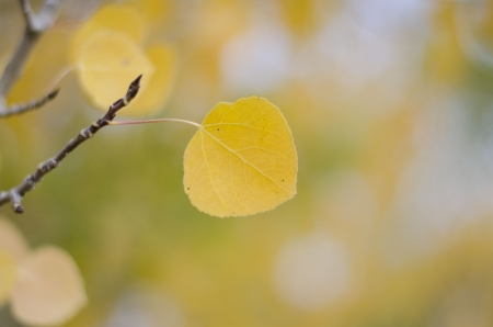 Aspen leaf in fall photo