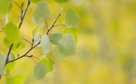 Aspen leaves in fall photo