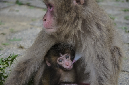 Mother Monkey Nursing Her Baby photo